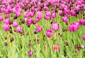 Group purple tulips — Stock Photo