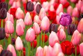 Pink tulips — Foto de Stock