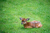 Roe Deer laying in the grass — Stock Photo