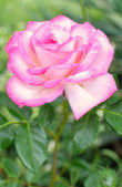 Rose with leaves — Stock Photo