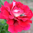 Bee on the pink rose — Stock Photo