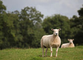 Freshly sheared sheep — Stock Photo