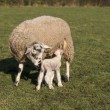 Stock Photo: Baby lamb and mother