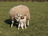 Baby lamb and mother — Stock Photo