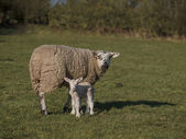 New born lamb and mother — Stock Photo