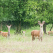 Stock Photo: Young male roe deer and herd