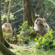 Barbay macaque monkey family group — Stock Photo