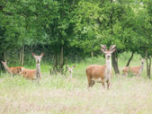 Young male roe deer and herd — Stock Photo