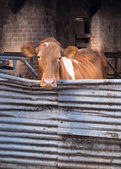Guernsey cow in cowshed — Stock Photo