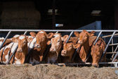 Guersney cattle in cowshed — Stock Photo