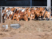 Guernsey cattle in cowshed — Stock Photo
