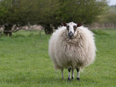 Sheep standing in meadow — Stok fotoğraf