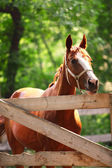 Ginger horse on farm. Outdoors — Stock Photo