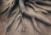 Old root of tree, in forest. Landscape of nature — Stock Photo