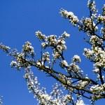 Cherry blossom tree — Stock Photo #31255129