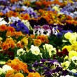 flower carpet — Stock Photo