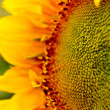 Sunflower field Stock Photo — 图库照片