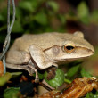 Tree frog amphibian treefrog — Stock Photo