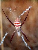 Foto av en stor spindel — Stockfoto