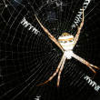 Spider in spiderweb - Stock Photo
