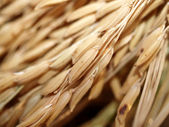 Rice farm — Stock Photo