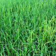 Green rice beautifful rice fields — Photo