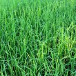 Green rice beautifful rice fields — Stockfoto