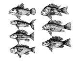 Hand drawn fish Vector illustration — Stock Vector
