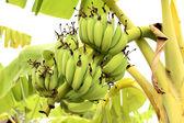 Um bando de bananas na árvore — Fotografia Stock