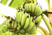 Bunch bananas on tree — Stock Photo