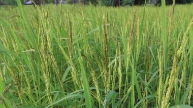 Rice in the rice fields — Stock Video
