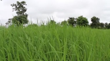 Green Rice in rice field — Stock Video