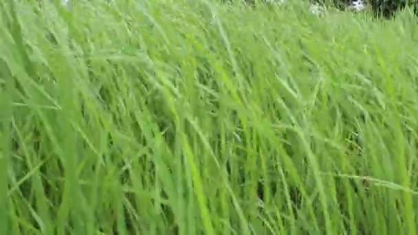 Verte rizière — Vidéo
