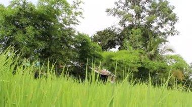 Green rice field — Stock Video