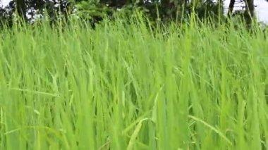 Beautiful green rice — Stock Video