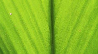 Banana leaves — Stock Video