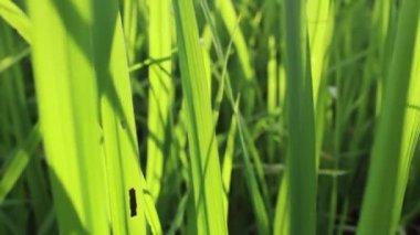 Green Rice in rice field — Wideo stockowe