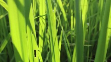 Green Rice in rice field — Vidéo