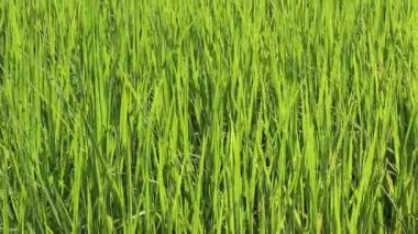 Green rice field — Stock Video