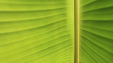 Banana leaves close up, Banana leaves background — Vídeo Stock