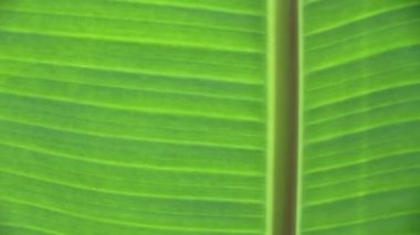 Banana leaves, Banana leaves background — Stock Video