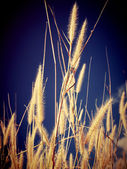 Ear of wheat — Foto de Stock