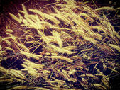 Ear of wheat background — Zdjęcie stockowe