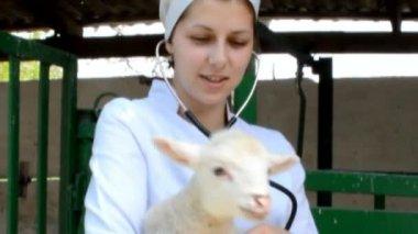 Vet listens to stethoscope calf — Stock Video