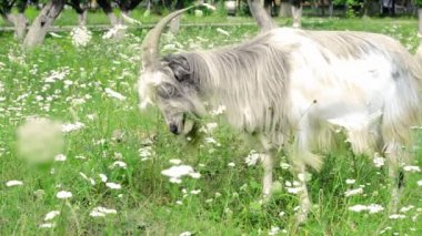 Fluffy goat eating grass in a meadow — Stock Video