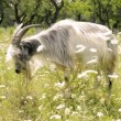 Stock Video: Fluffy goat eating grass in meadow