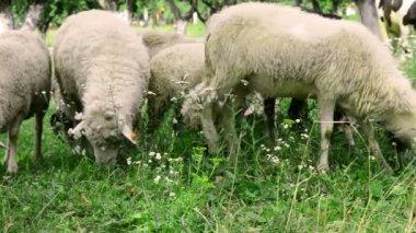 Herd is grazing in the meadow — Stock Video