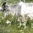 Fluffy goat eating grass in a meadow — Wideo stockowe