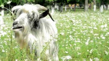 Kabarık keçi bir çayır çim yeme — Stok video