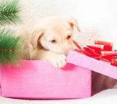 Puppy gnaws gift box — Stock Photo